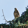 94  Young Swainson's Hawk