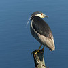 49  Black-crowned Night Heron