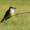 79  Western Kingbird
