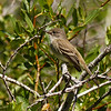 01  Flycatcher sp.