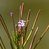 161  Northern Willowherb / Epilobium ciliatum