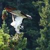 130  Osprey take-off