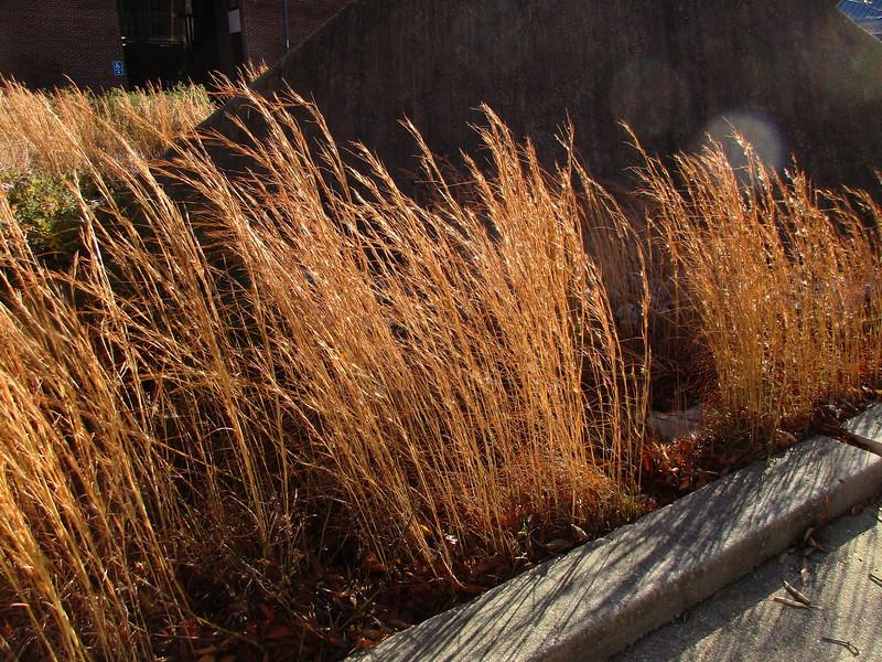 Broom-sedge (Andropogon virginicus)