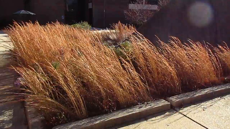 Video of wind tossed Broom-sedge (Andropogon virginicus)