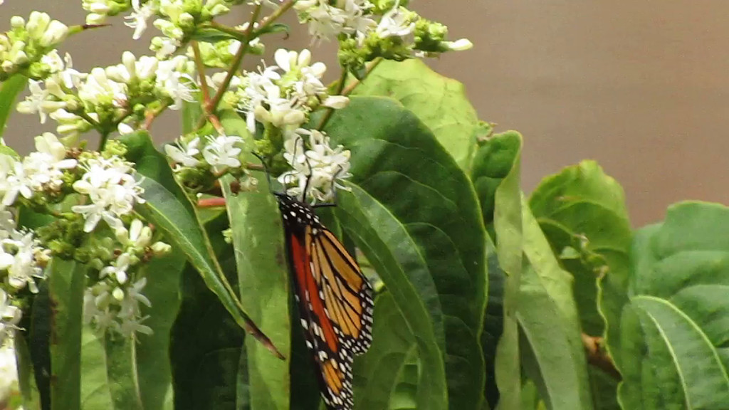 Monarch Butterfly feeding on the flowers of a Seven-sons Flower tree