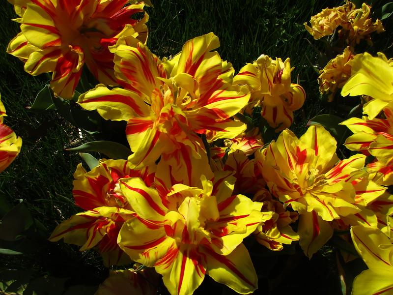 'Carmen Rio' Tulip