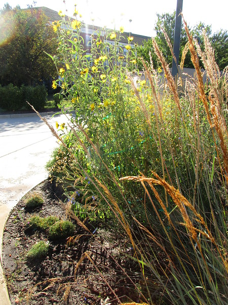 Maximillian Sunflower and 'Indian Steel' Indian Grass