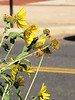 American Goldfinch feeding  on Maximilian Sunflower