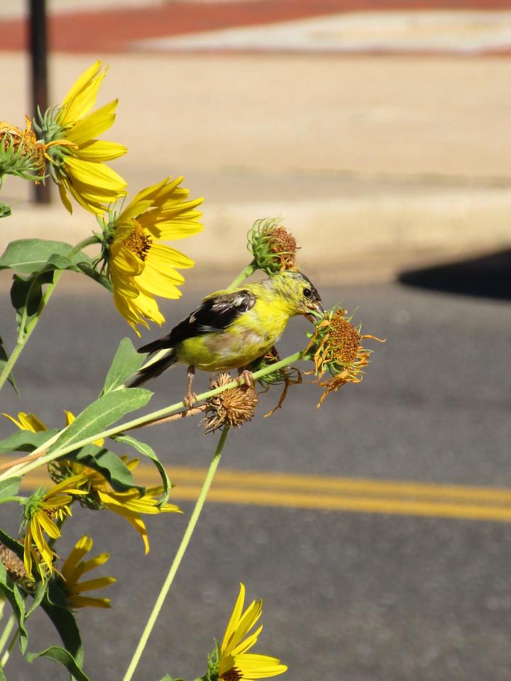 American Goldfinch feeding  on Maximilian Sunflower