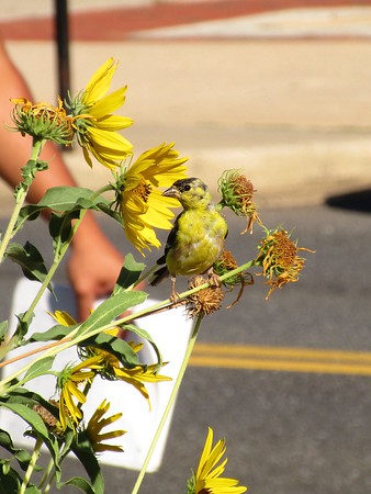 Young American Goldfinch feeding on Maximilian Sunflowers
