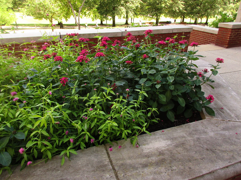 Flowers in the raised planting beds  on the North side of Tydings Hall