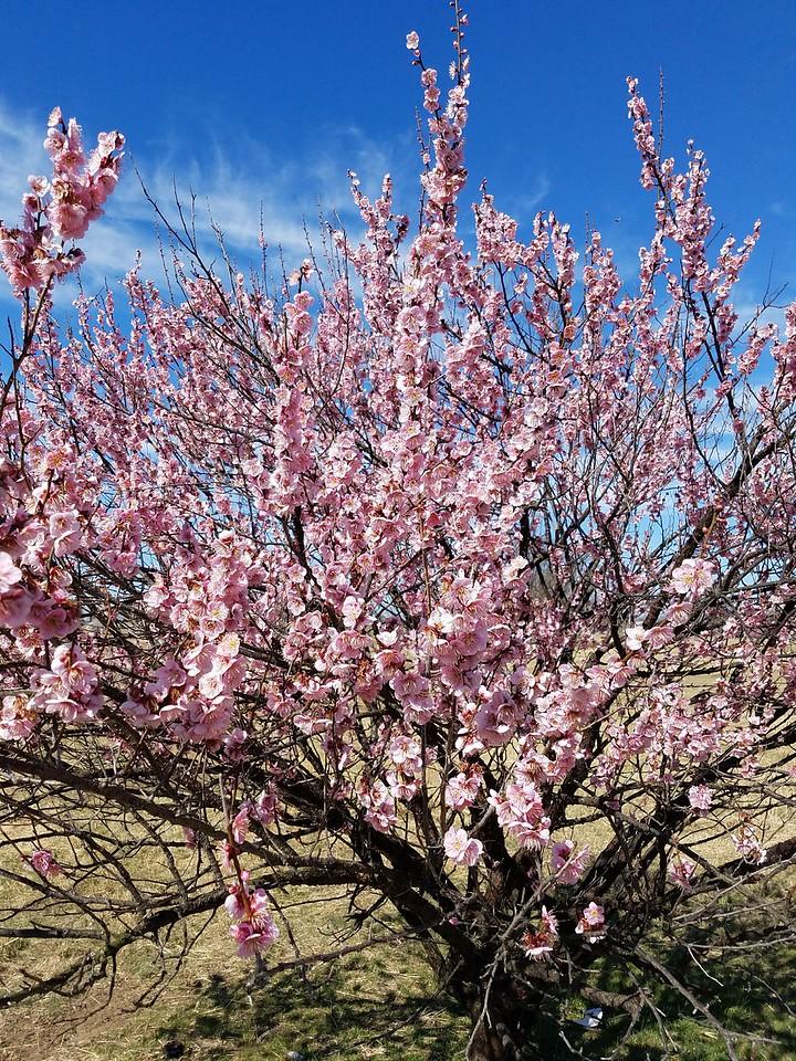 Japanese Flowering Apricot in bloom