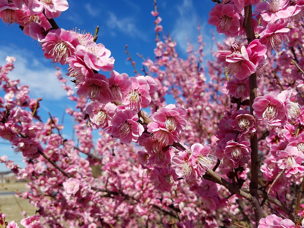 Pink Flowered Japanese Flowering Apricot