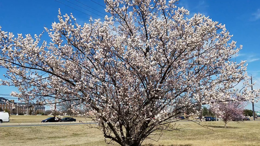 Video of 'Hana-kami' Japanese Flowering Apricot