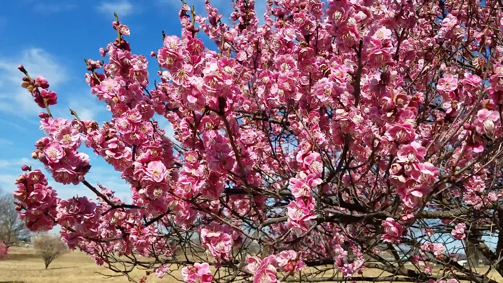 Video of 'Tama-ume' Japanese Flowering Apricot in Bloom