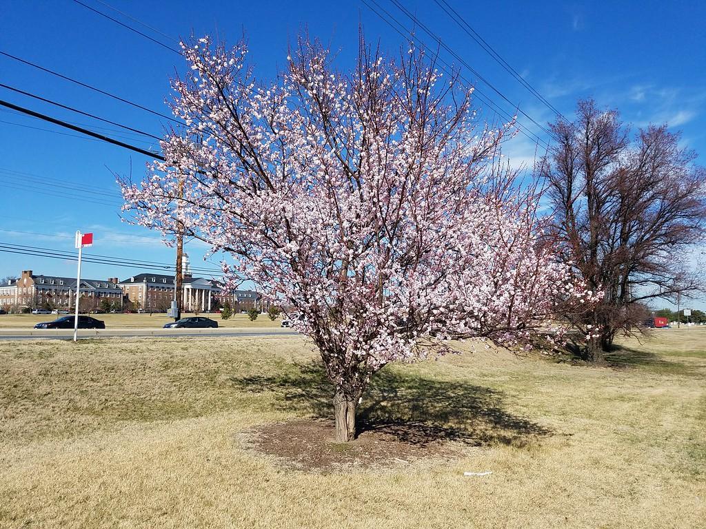 'Okitsu-akabana' Japanese Flowering Apricot