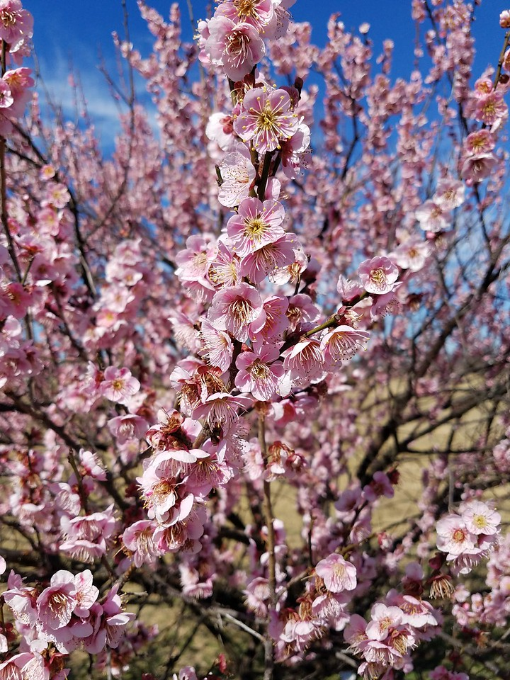 Japanese Flowering Apricot in bloom