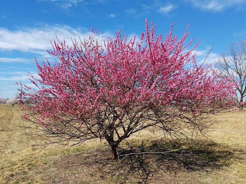 'Sabashi-ko' Japanese Flowering Apricot