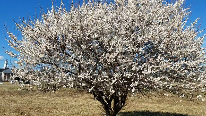 Video of 'Omoi-no-mama' Japanese Flowering Apricot