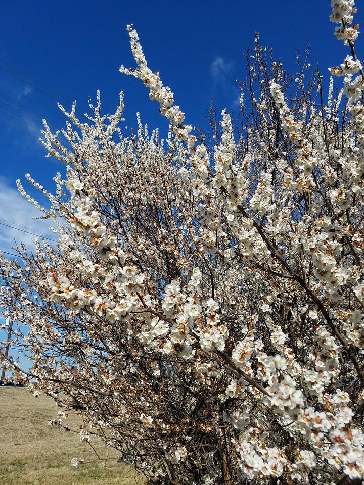 'Tohji-bai' Japanese Flowering Apricot