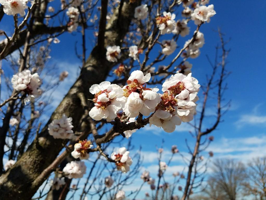 'Usuiro-chirimen' Japanese Flowering Apricot