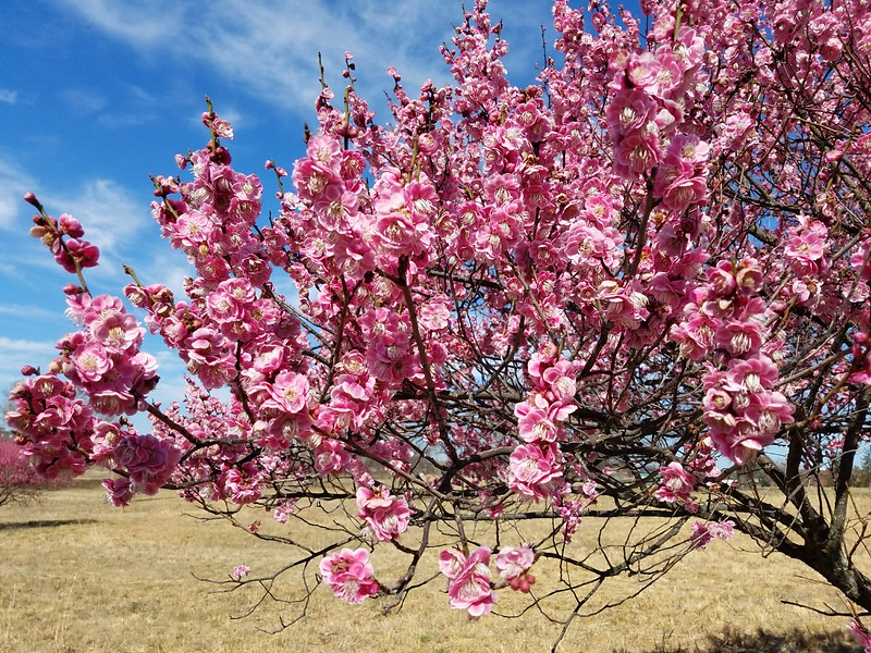 'Tama-ume' Japanese Flowering Apricot in Bloom