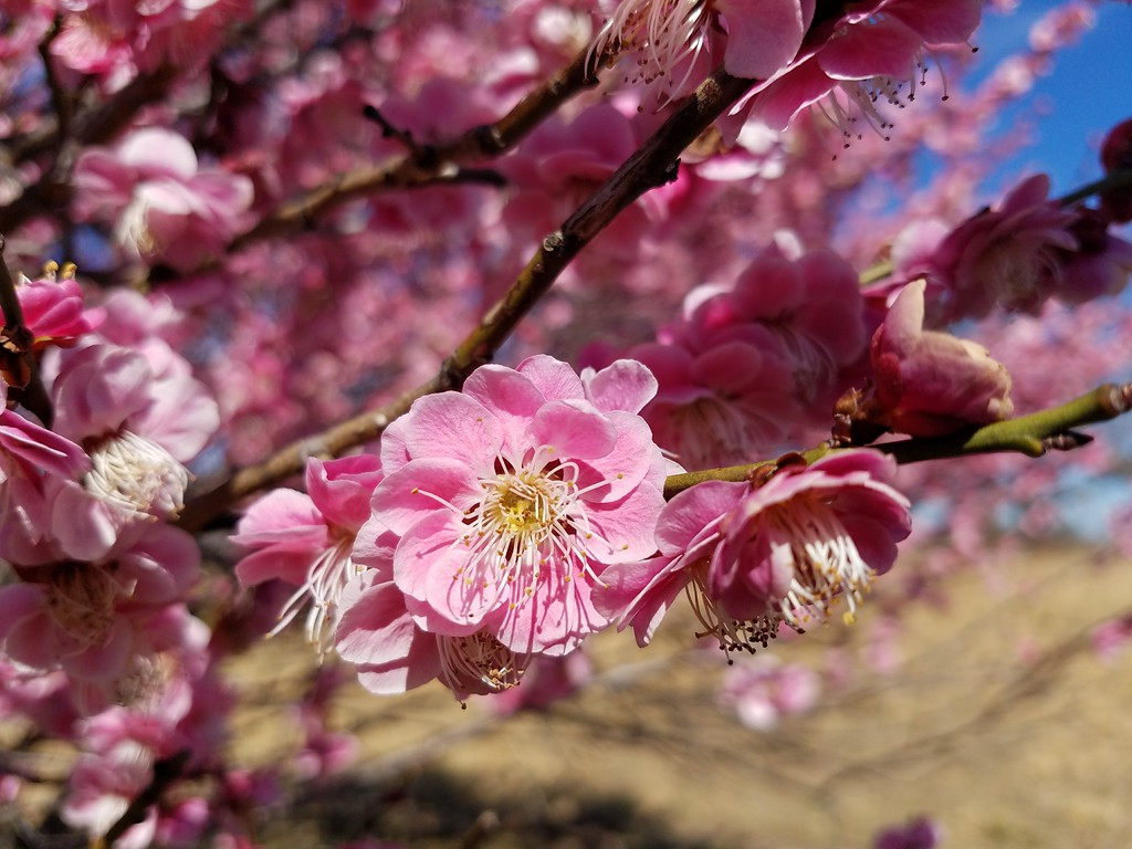 'Tama-ume' Japanese Flowering Apricot in Bloom