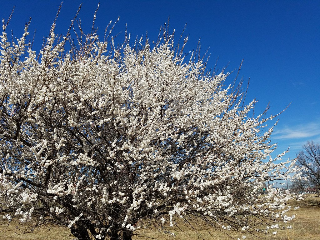 'Omoi-no-mama' Japanese Flowering Apricot
