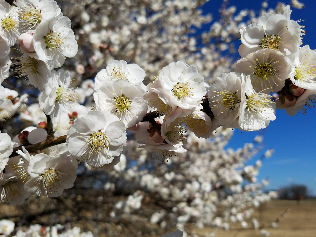 'Omoi-no-mama' Japanese Flowering Apricot
