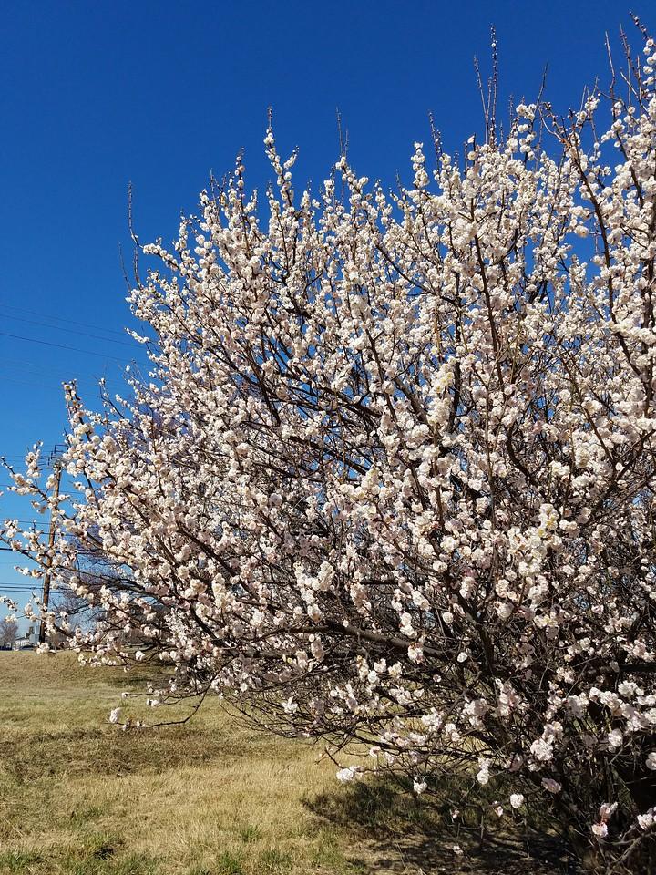 'Hana-kami' Japanese Flowering Apricot