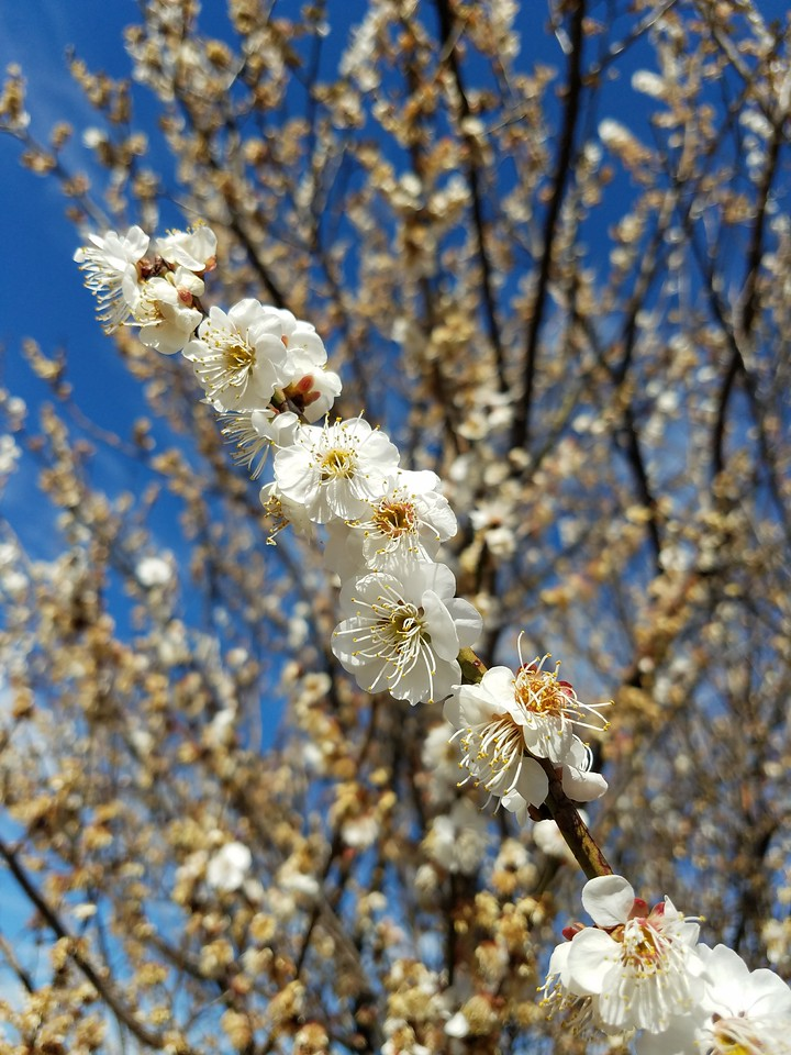 'Shiro-naniwa' Japanese Flowering Apricot