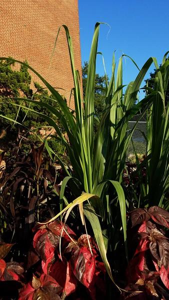 Mexican Striped Sugar Cane