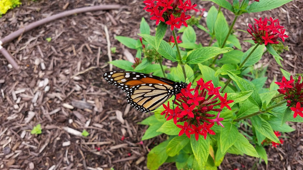 Monarch  Butterfly in the Peace Garden on Friday, August 18, 2017