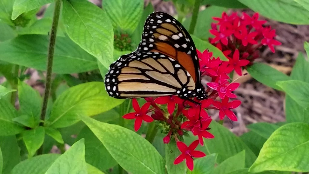 Video of a Monarch Butterfly in the Peace Garden on Friday, August 18, 2017