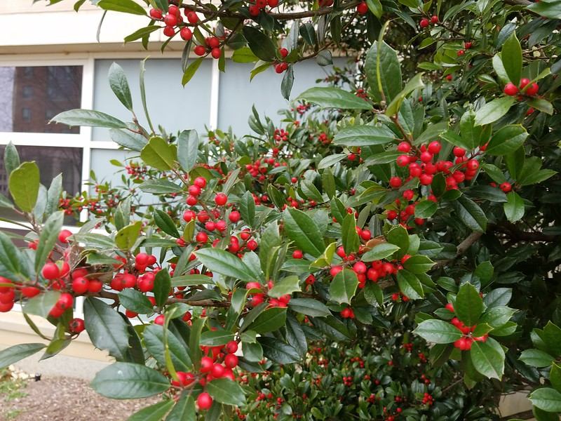 Fruit of 'Foster's' Holly