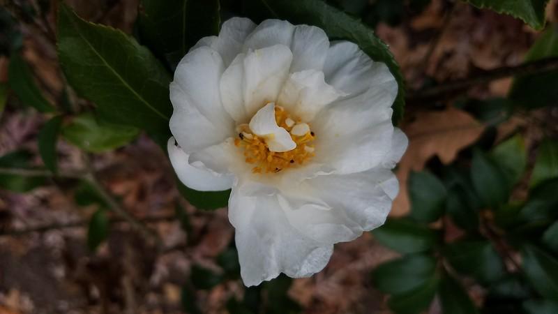 'Winter's Snowman' Camellia