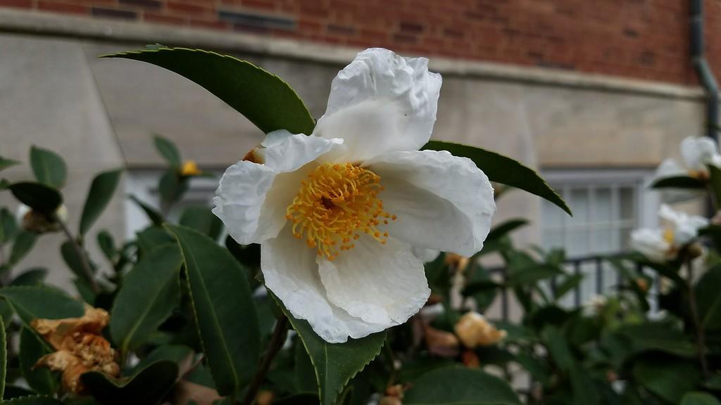 Camellia sasanqua 'Northern Exposure'