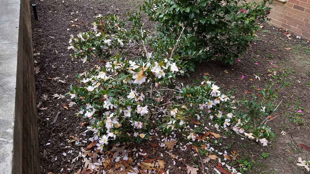 Camellia sasanqua 'Autumn Sunrise'