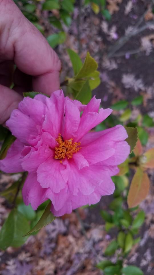 Camellia x 'Winter's Joy'