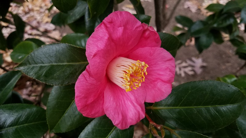 'Spring's Promise' Camellia
