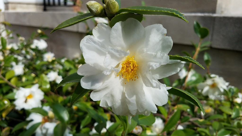 Unidentified Camellia