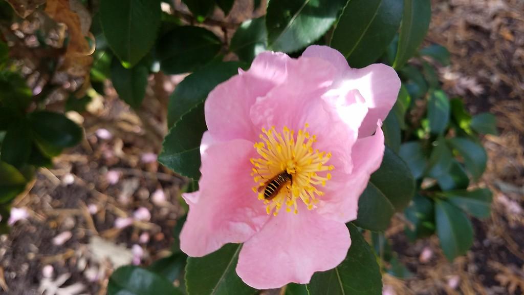 'Londontowne Blush' Camellia