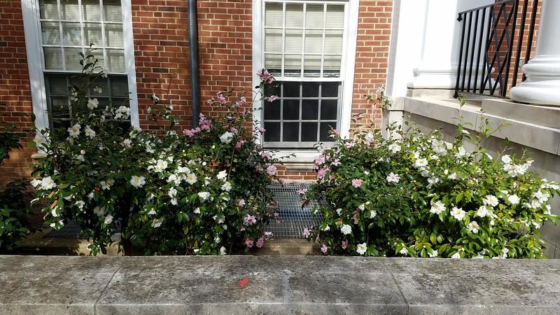 Unidentified Camellias