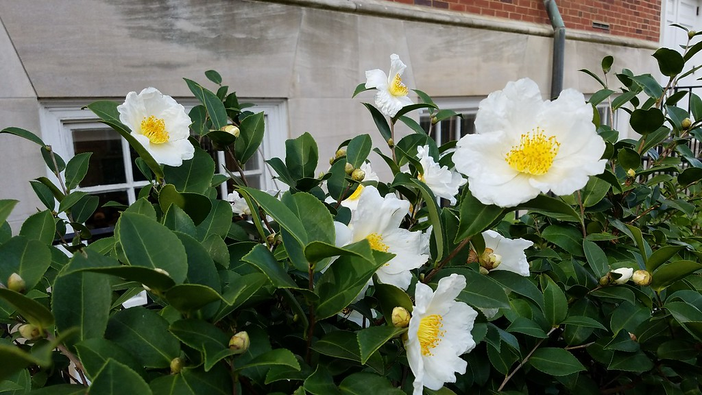 'Northern Exposure' Camellia