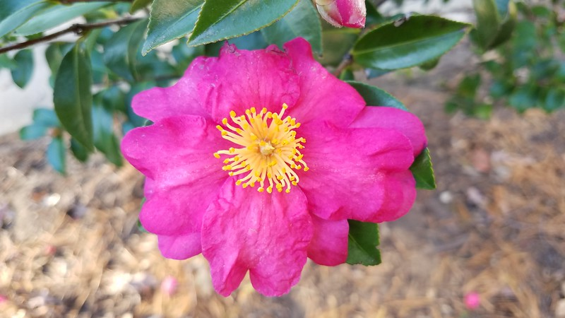 Camellia sasanqua 'Hiryu'