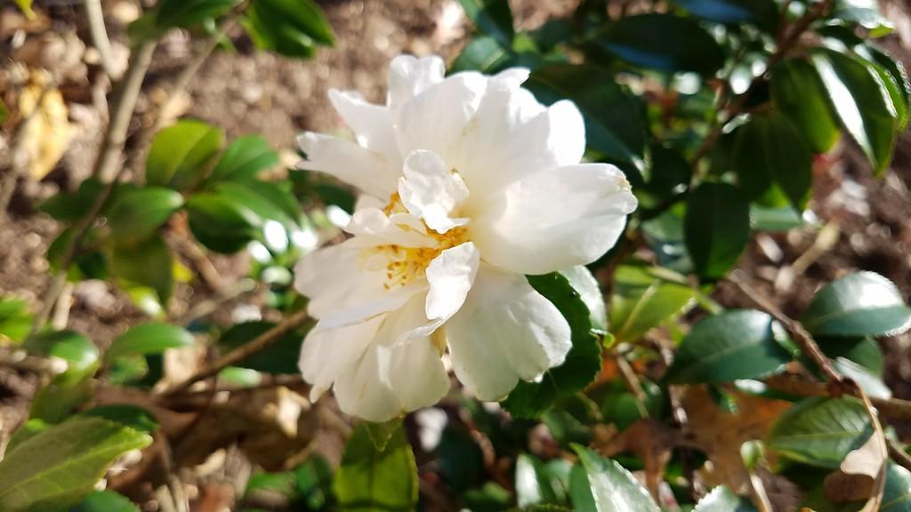 Camellia x 'Winter's Snowman'