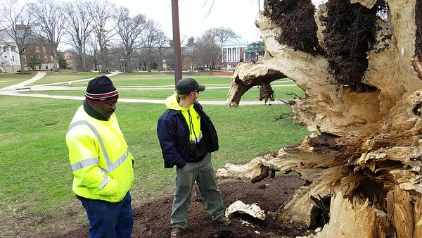 Downed Willow Oak on McKeldin Mall at the University of Maryland
