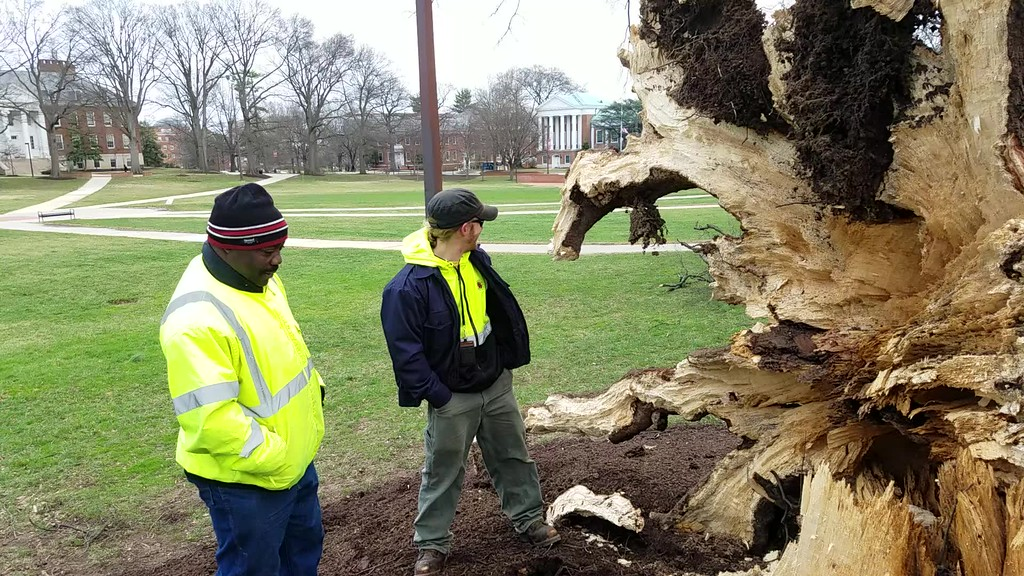 Downed Willow Oak Video
