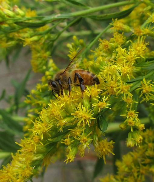 Honeybee feeding on Tall Goldenrod