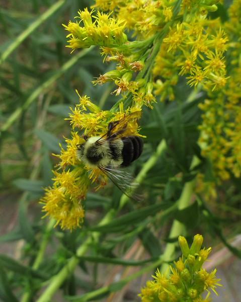 Female Eastern Carpenter Bee feeding on Tall or Late Goldenrod